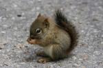 baby-squirrel