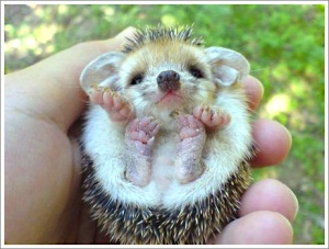 hedgehog-cute.jpg?w=300&h=227