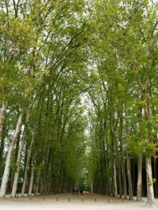 neverending boulevard of trees at the Versailles garden