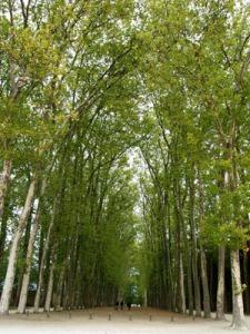 neverending boulevard of trees at the Versailles garden